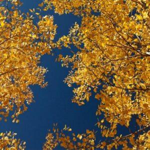 آسمان مجازی درختان زرد 2x4-22