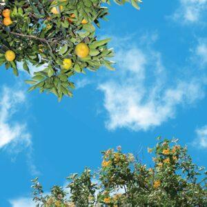 آسمان مجازی درخت نارنگی 2x2-10