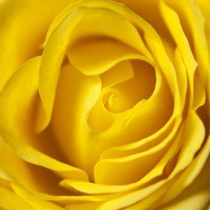 پوستر تصویر کلوزآپ از گل رز زرد درشت