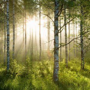 پوستر پرتوی نور در میان درختان راش سرسبز